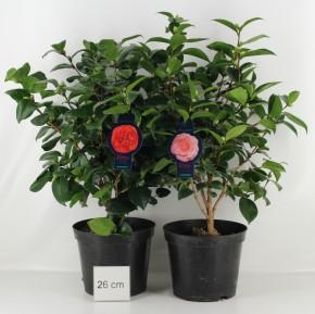Camellia japonica T 26 MIX • VE 5