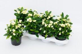Euphorbia milii 'Hermes' T 12 (weiß) • VE 8