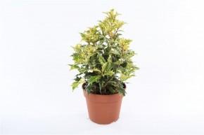 Osmanthus heterophyllus 'Tricolor' T 13 • VE 8