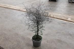 Corokia cotoneaster T 19 • VE 6