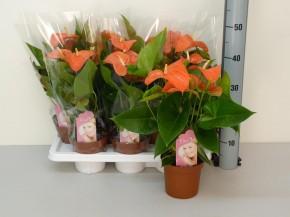Anthurium-Andreanum-Hybr.T 14 'Orange Champion' • VE 7