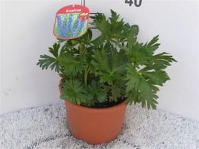 Aconitum cammarum T 23 • VE 5