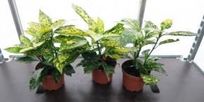 Aucuba japonica T 14 bunt • VE 6