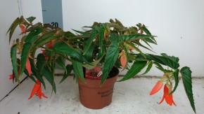Begonia x boliviensis 'Bonfire' T 13 • VE 6