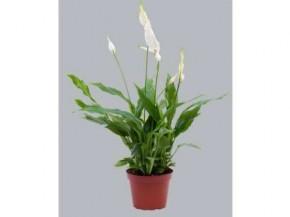 Spathiphyllum 'Cupido' T 11 • VE 12