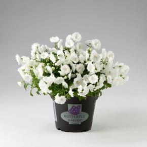 Campanula haylodgensis T 10,5 'White Bali' • VE 12