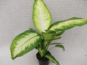 Dieffenbachia maculata 'Camilla' T 12,5 • VE 8