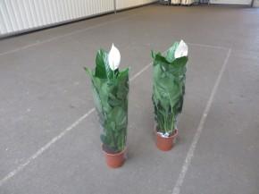 Spathiphyllum 'Sweet Lauretta' T 24 • VE 1