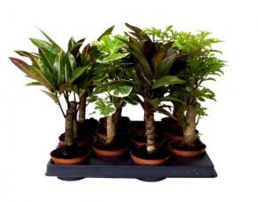 Grünpflanzen-Sortiment T 6 MINI Stamm-Mix • VE 12