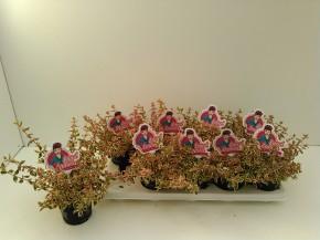 Abelia grandiflora 'Little Lady' T 11 • VE 10