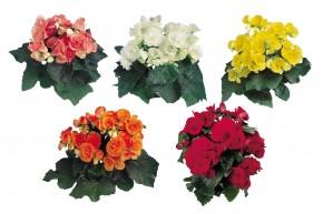 Begonia Elatior Hybriden T 12 WEISS • VE 8