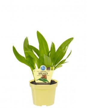 Blu® Bio Allium ursinum T 12 • VE 10