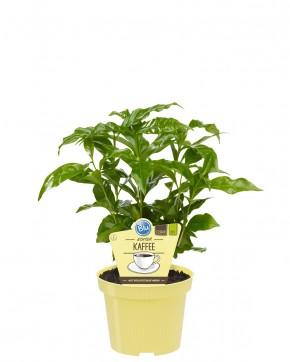 Blu® Bio Coffea arabica T 12 • VE 10