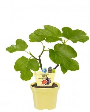 Blu® Bio Ficus carica T 12 • VE 10