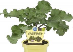 Blu® Bio Brassica oleracea varietas ' Flower Sprout' T 12 • VE 10