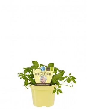 Blu® Bio Jiaogulan / Gynostemma pentaphyllum T 12 • VE 10