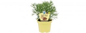 Blu® Bio Artemisia caucasica T 12 • VE 10