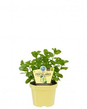 Blu® Bio Mentha spicata T 12 • VE 10