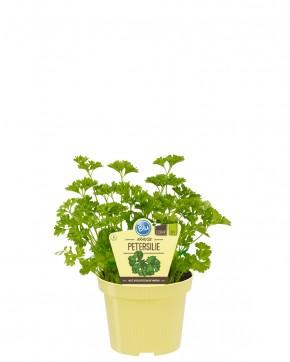Blu® Bio Petroselinum crispum, kraus T 12 • VE 10