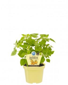 Blu® Bio Physalis peruviana T 12 • VE 10