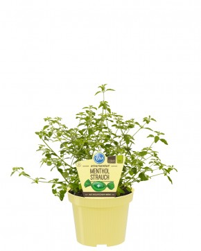 Blu® Bio Prostanthera rotundifolia T 12 • VE 10