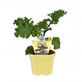 Blu® Bio Brassica oleracea varietas 'Redbor' T 12 • VE 10