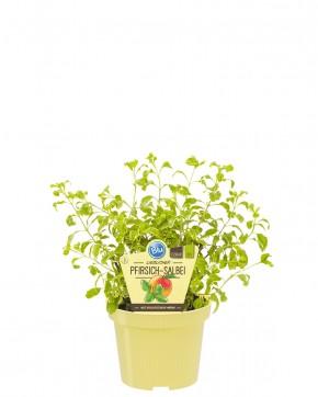 Blu® Bio Salvia greggii variegata T 12 • VE 10