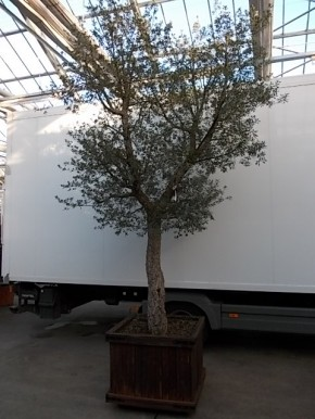 Quercus suber 400 cm in Holzkassette