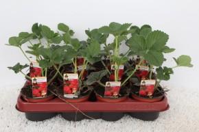 Erdbeere T 9,5 'Korona'