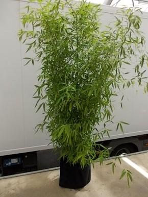 Leihpflanze Bambus 200-250 cm mit schwarzer Husse
