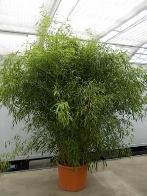 Leihpflanze Bambus 250-300 cm