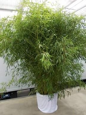 Leihpflanze Bambus 250-300 cm mit weißer Husse