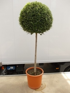 Leihpflanze Liguster Stamm 160 cm