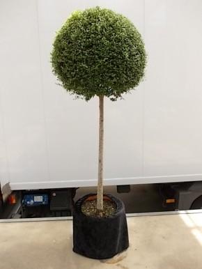Leihpflanze Liguster Stamm 160 cm mit schwarzer Husse