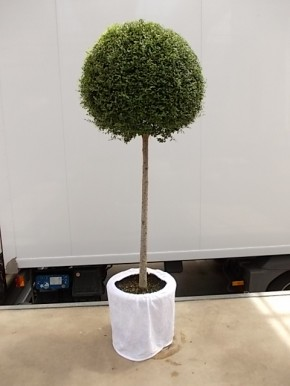 Leihpflanze Liguster Stamm 160 cm mit weißer Husse